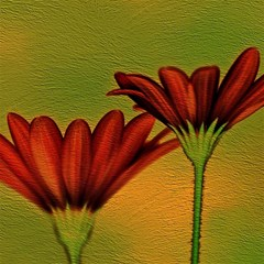 Osterspermum Canvas 12  X 12  (unframed) by Siebenhuehner