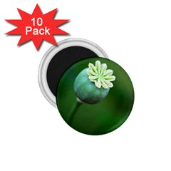Poppy Capsules 1 75  Button Magnet (10 Pack)