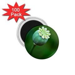 Poppy Capsules 1 75  Button Magnet (100 Pack)