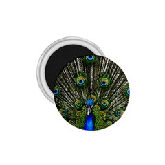Peacock 1 75  Button Magnet by Siebenhuehner