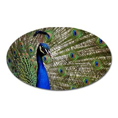 Peacock Magnet (oval)