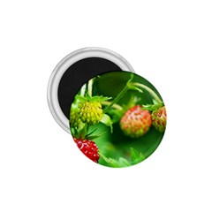 Strawberry  1 75  Button Magnet