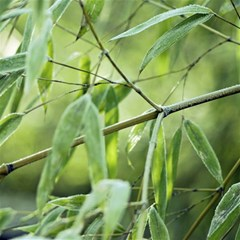 Bamboo Canvas 20  X 20  (unframed) by Siebenhuehner