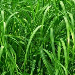 Grass Canvas 12  X 12  (unframed) by Siebenhuehner