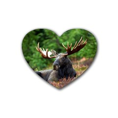Majestic Moose Drink Coasters 4 Pack (heart)  by StuffOrSomething