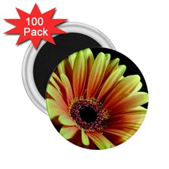 Yellow Orange Gerbera Daisy 2 25  Button Magnet (100 Pack) by bloomingvinedesign