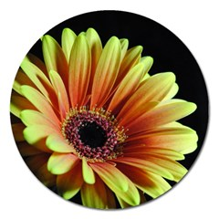 Yellow Orange Gerbera Daisy Magnet 5  (round) by bloomingvinedesign