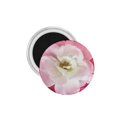 White Rose With Pink Leaves Around  1 75  Button Magnet by dflcprints