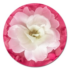 White Rose With Pink Leaves Around  Magnet 5  (round) by dflcprints