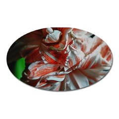 Amaryllis Double Bloom Magnet (oval) by bloomingvinedesign
