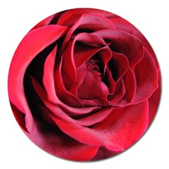 An Open Rose Magnet 5  (round) by bloomingvinedesign