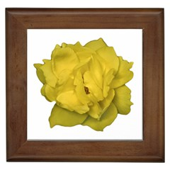 Isolated Yellow Rose Photo Framed Tiles by dflcprints