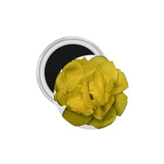 Isolated Yellow Rose Photo 1 75  Magnets by dflcprints
