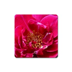 Red Rose Square Magnet by timelessartoncanvas