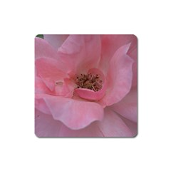Pink Rose Square Magnet