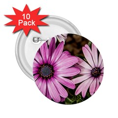 Beautiful Colourful African Daisies  2 25  Buttons (10 Pack)  by OZMedia