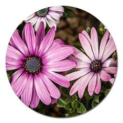 Beautiful Colourful African Daisies  Magnet 5  (Round) by OZMedia