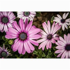Beautiful Colourful African Daisies  Canvas 24  X 36  by OZMedia