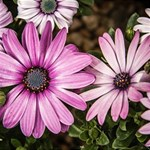 Beautiful Colourful African Daisies  HUGS 3D Greeting Card (8x4)  Inside
