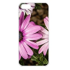 Beautiful Colourful African Daisies  Apple Iphone 5 Seamless Case (white) by OZMedia