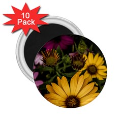 Beautiful Colourful African Daisies  2 25  Magnets (10 Pack)  by OZMedia