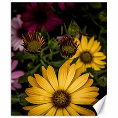 Beautiful Colourful African Daisies  Canvas 8  X 10  by OZMedia
