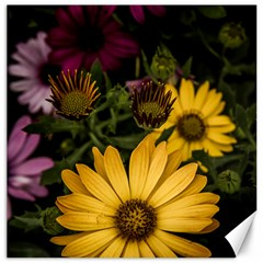 Beautiful Colourful African Daisies  Canvas 20  x 20   by OZMedia
