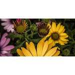 Beautiful Colourful African Daisies  Happy Birthday 3D Greeting Card (8x4)  Front