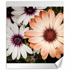 Beautiful Colourful African Daisies Canvas 20  x 24   by OZMedia