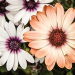 Beautiful Colourful African Daisies BELIEVE 3D Greeting Card (8x4)  Inside