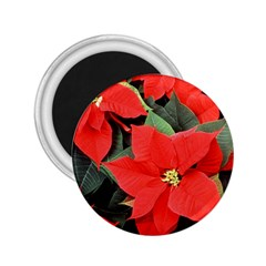 Poinsettia 2 25  Magnets by trendistuff