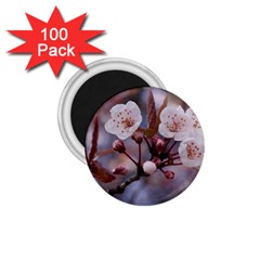 Cherry Blossoms 1 75  Magnets (100 Pack)  by trendistuff