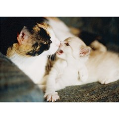 Calico Cat And White Kitty Birthday Cake 3d Greeting Card (7x5)