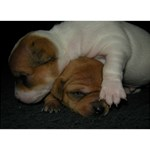 ADORABLE BABY PUPPIES You Did It 3D Greeting Card (7x5) Front