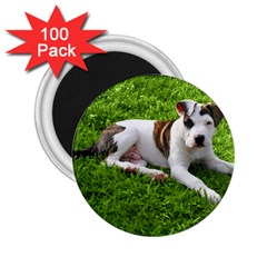 Pit Bull T Bone Puppy 2 25  Magnets (100 Pack)  by ButThePitBull