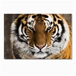 Tiger Postcards 5  x 7  (Pkg of 10)