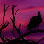 Vultures At Top Of Tree Silhouette Illustration ENGAGED 3D Greeting Card (8x4) Inside