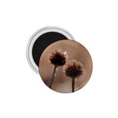 2  Verwelkte Kugeldistel 1 75  Magnets