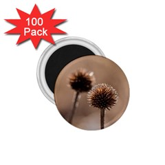 Withered Globe Thistle In Autumn Macro 1 75  Magnets (100 Pack)  by wsfcow