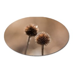 Withered Globe Thistle In Autumn Macro Oval Magnet