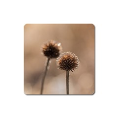 Withered Globe Thistle In Autumn Macro Square Magnet by wsfcow