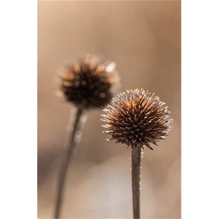 Withered Globe Thistle In Autumn Macro 5.5  x 8.5  Notebooks