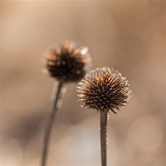 Withered Globe Thistle In Autumn Macro Magic Photo Cubes by wsfcow