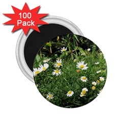 White Daisy Flowers 2 25  Magnets (100 Pack)  by picsaspassion