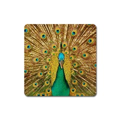 Bird Peacock Feathers Square Magnet