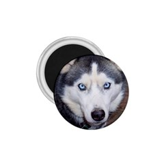 Siberian Husky Blue Eyed 1 75  Magnets by TailWags