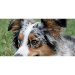 Blue Merle Miniature American Shepherd YOU ARE INVITED 3D Greeting Card (8x4) by TailWags