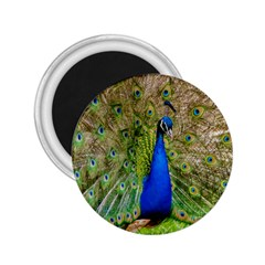 Peacock Animal Photography Beautiful 2 25  Magnets by Amaryn4rt