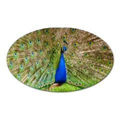 Peacock Animal Photography Beautiful Oval Magnet by Amaryn4rt