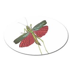 Grasshopper Insect Animal Isolated Oval Magnet by Nexatart